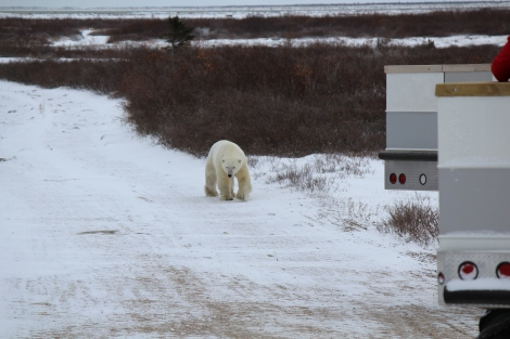 Roady was a big male polar bear.
